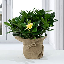 Gardenia Jasminoides with Jute Wrapped Pot: New Arrival Gifts