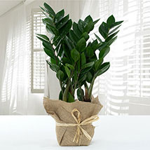 Jute Wrapped Zamia Potted Plant: New Arrival Gifts in Dubai