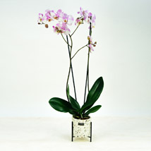 Pink Phalaenopsis Orchid Plant: Birthday Gifts