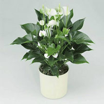 White Anthurium Plant: Midnight Delivery Gifts